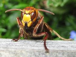 STL - Frelon - piqûres hyménoptères